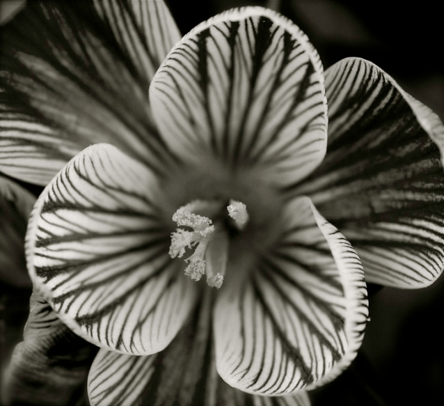 This is a black and white variation of a Green Spring flower Rob Paine