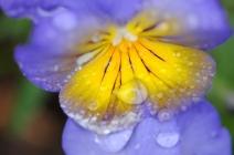 Rain Drops on a Pansy at Green Spring, Saturday, April 11, 2009