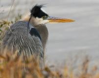 Blue Heron at Blackwater National Wildlife Refuge