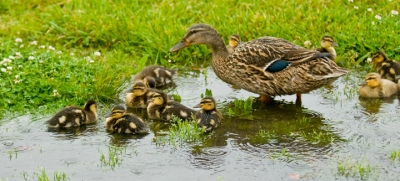 web puddle ducks