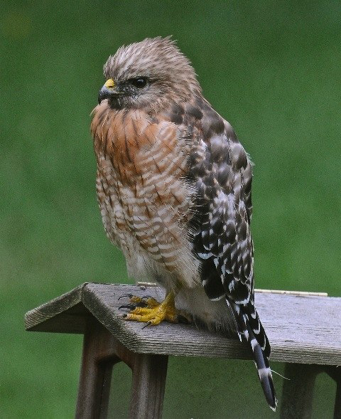 hawk rob paine