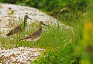 web birds in grass