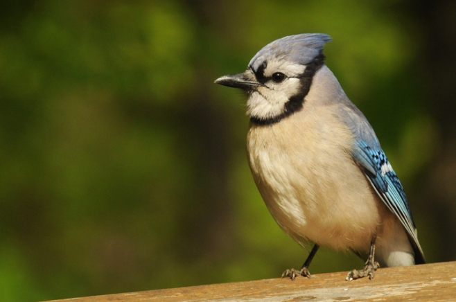 web blue jay rob paine