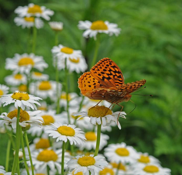 web butterfly two