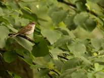 web chipping sparrow