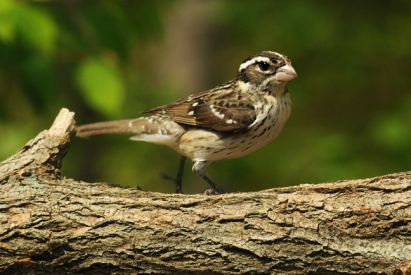 Female Grosbeak