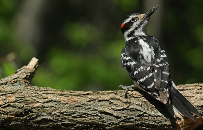 web hairy woodpecker rob paine