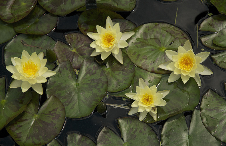 WEB LILY PADS ROB PAINE