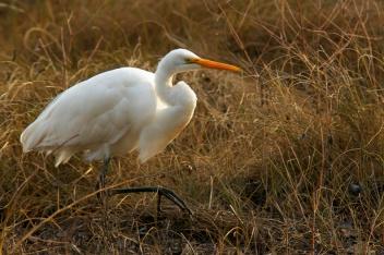 rob paine white egret