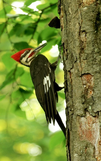 web pileated woodpecker rob paine