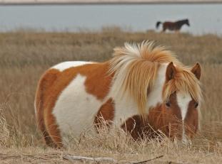 rob paine chincoteague ponies