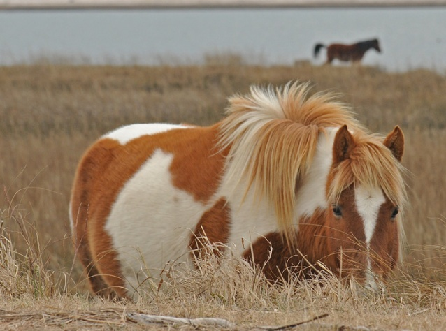 rob paine chincoteague ponies