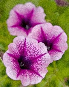 web purple flowers rob paine