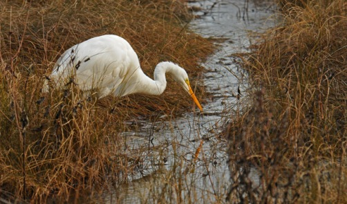 web white egret rob paine two
