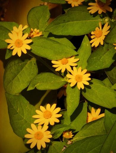 web yellow flowers