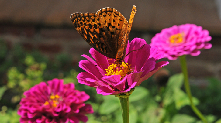 A butterfly lands on flower in garden in front of the main house at  Rippon  Lodge.