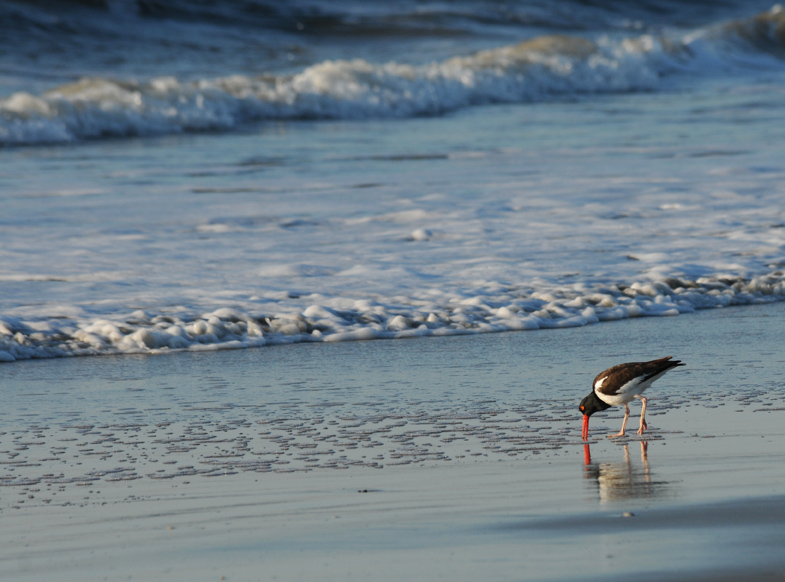 Rob Paine Oyster Catcher by the sea