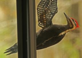 web pileated window