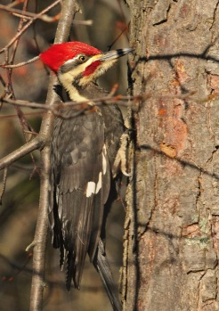 rob paine pileated