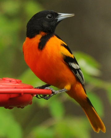 web rob paine baltimore oriole