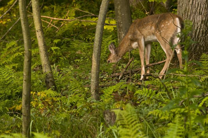 web rob paine deer morfe