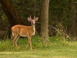 Rob Paine Deer on Potomac