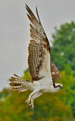 web rob paine Osprey in flight in Occoquan Va
