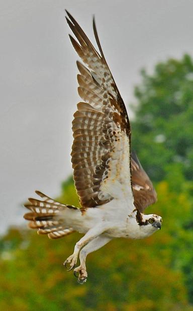 web rob paine Osprey in flight in Occoquan Va