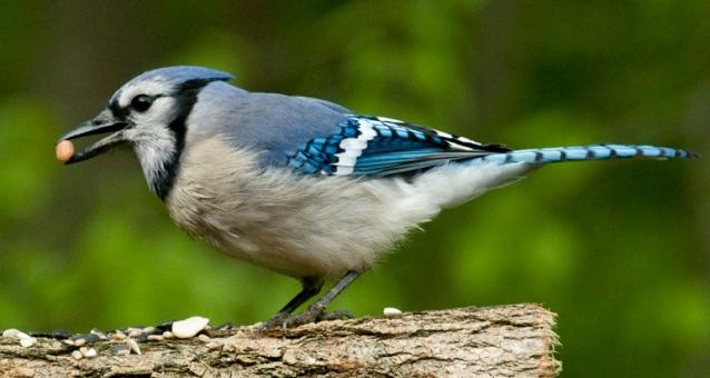 rob paine blue jay