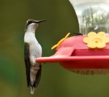 hummer at feeder