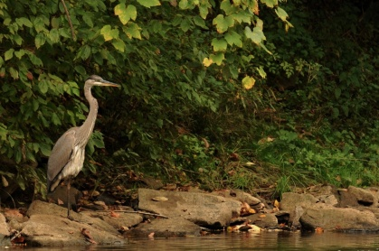 Blue Heron on Casselman River by Rob Paine