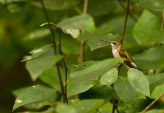 Web Rob Paine Hummingbird