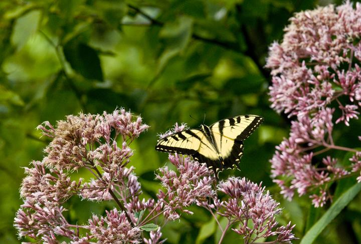 web butterfly wva