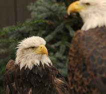 web eagles
