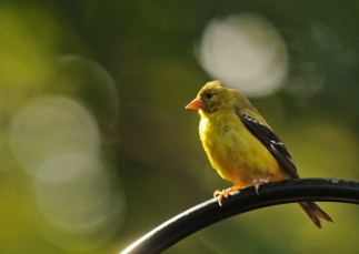 Rob Paine American Goldfinch