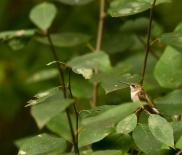 Rob Paine Hummingbird