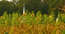 Sunflower Field in Garrett County, MD., by Rob Paine