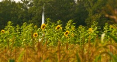 Sunflower Field in Garrett County, MD., by Rob Paine