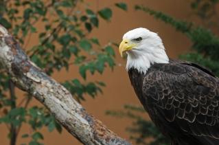 web two eagles