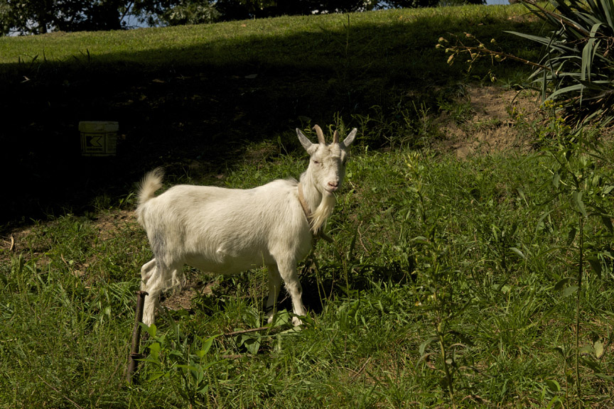 web goat photo car