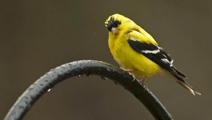 web goldfinch