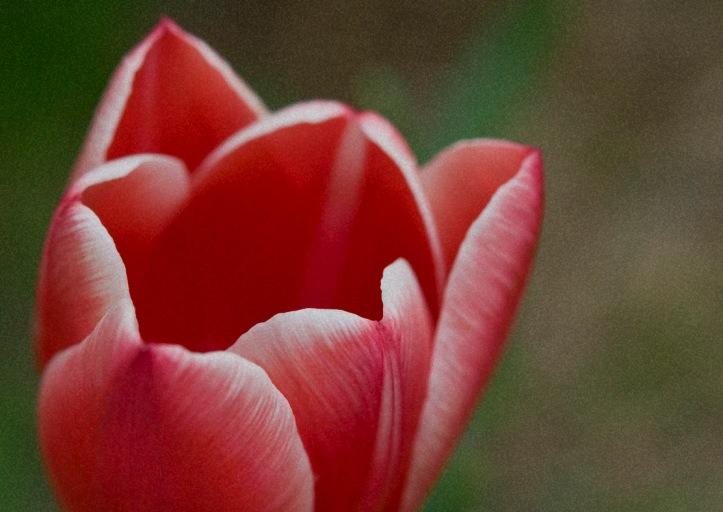 web tulip rob paine
