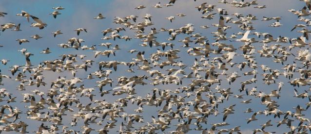 web snow geese four