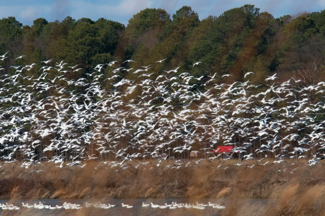 web snow geese one