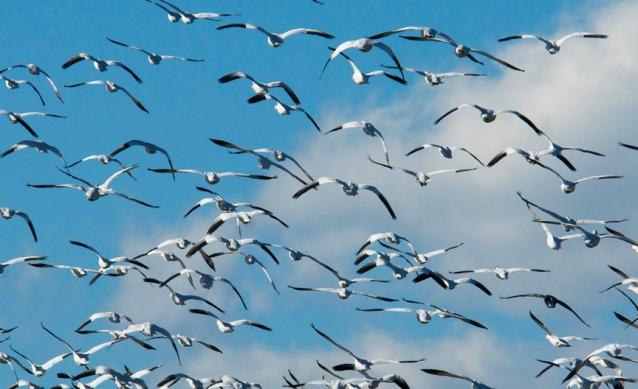 web snow geese three