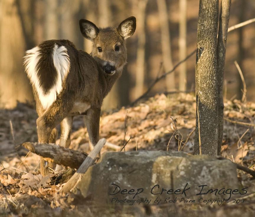 rob paine focus deer deep creek lake
