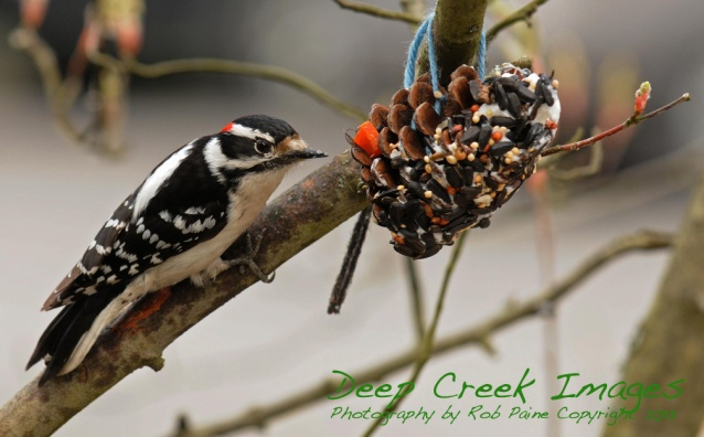 rob paine woodpecker deep creek lake