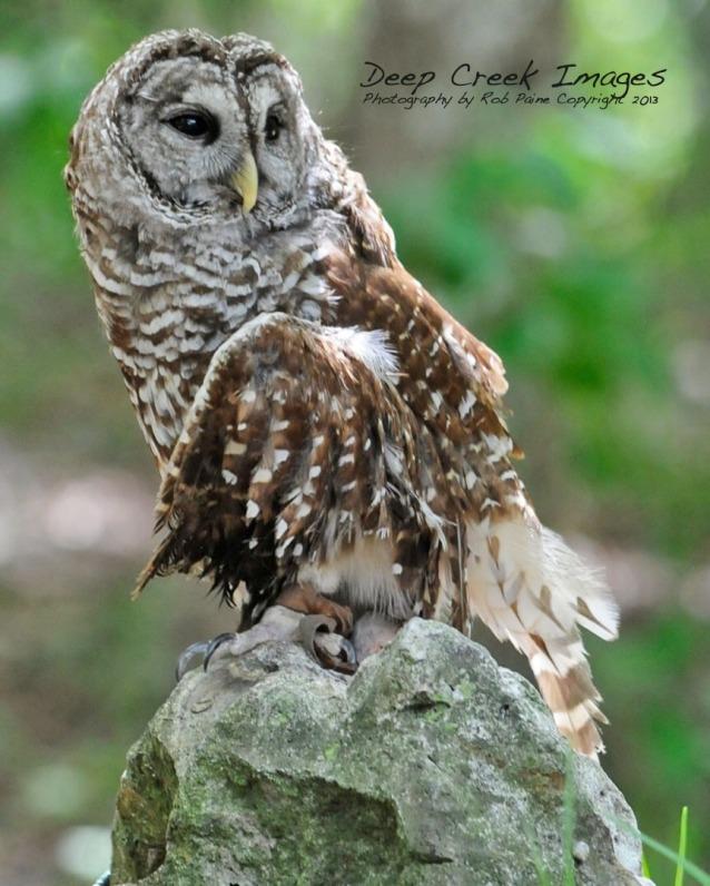wweb florida owl copy