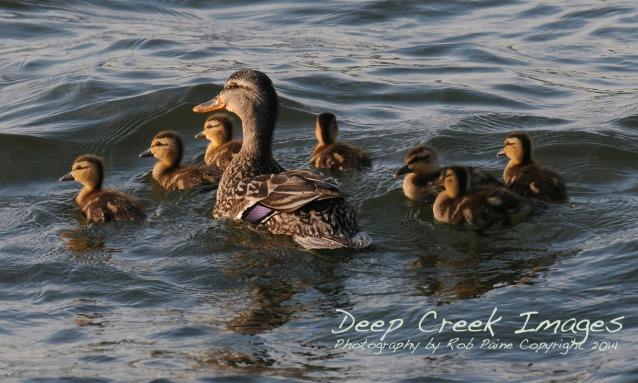 rob paine duck family deep creek lake