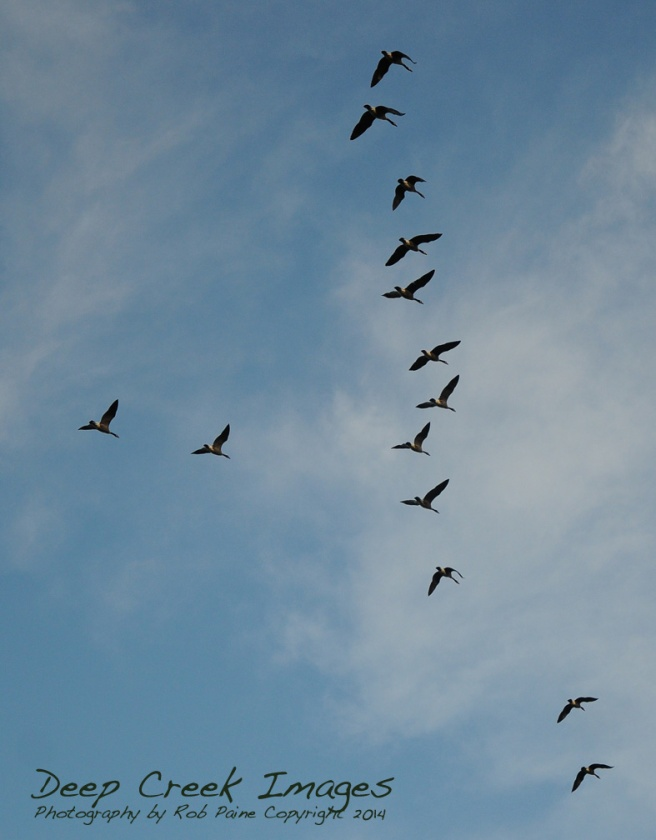 rob paine geese flyover